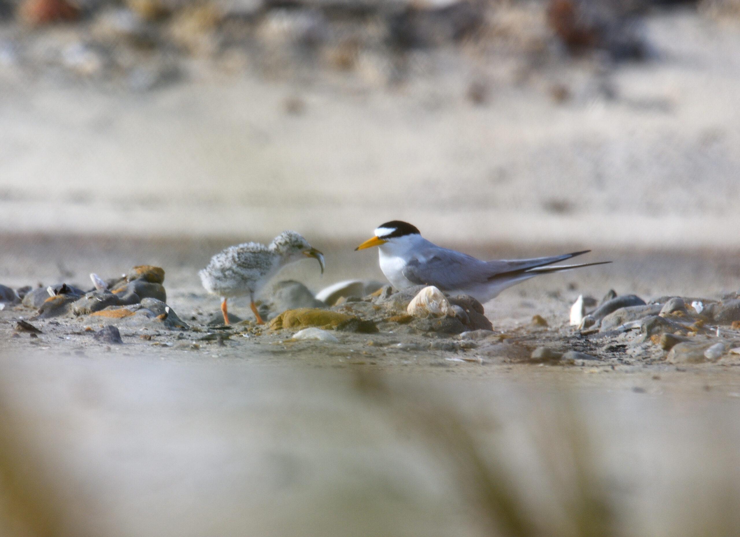 Shorebirds on the Alabama Gulf Coast
